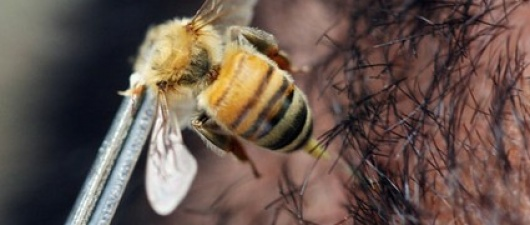 Study: Bee Venom Kills HIV (from 'U.S. News')